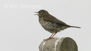 Meadow Pipit (Anthus pratensis) (02)
