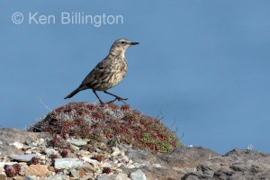 Meadow Pipit (Anthus pratensis) (20)