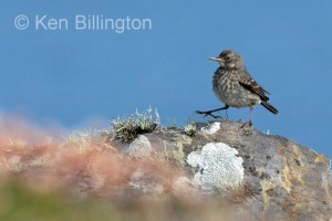 Meadow Pipit (Anthus pratensis) (21)