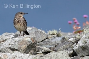 Meadow Pipit (Anthus pratensis) (24)