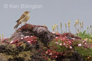 Meadow Pipit (Anthus pratensis) (25)