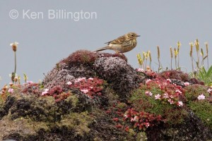 Meadow Pipit (Anthus pratensis) (26)