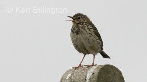 Meadow Pipit (Anthus pratensis) (03)
