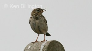 Meadow Pipit (Anthus pratensis) (04)