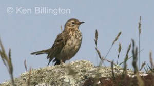 Meadow Pipit (Anthus pratensis) (09)