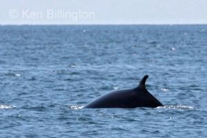 Minke Whale, (Balaenoptera acutorostrata)