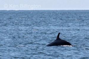 Minke Whale, (Balaenoptera acutorostrata) (4)
