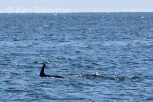 Minke Whale, (Balaenoptera acutorostrata) (5)