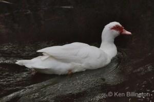 Muscovy Duck Cairina moschata