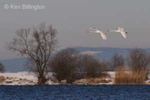 Swans in Tandem
