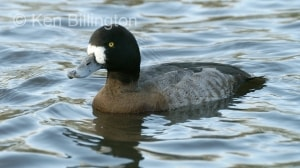 New Zealand Scaup Aythya novaeseelandiae