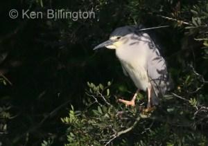 Night Heron ( Nycticorax nycticorax) (04)