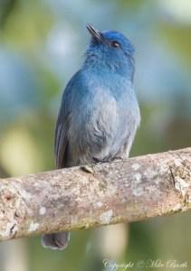 Nilgiri Flycatcher Eumyias albicaudatus