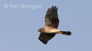 Northern Harrier (Circus cyaneus) (9)