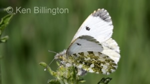 Female Orange Tip (Anthocharis cardamines) (2).jpg
