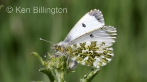 Female Orange Tip (Anthocharis cardamines) (3).jpg
