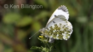 Female Orange Tip (Anthocharis cardamines) (4).jpg