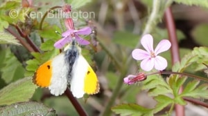 Male Orange Tip (Anthocharis cardamines) (5).jpg