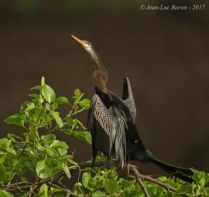 Oriental Darter Anhinga Melanogaster