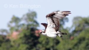 Osprey (Pandion haliaetus) (10)