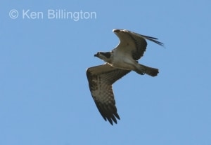 Osprey (Pandion haliaetus) (11)