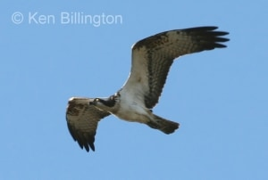 Osprey (Pandion haliaetus) (12)