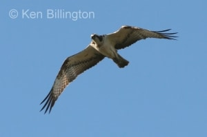 Osprey (Pandion haliaetus) (14)