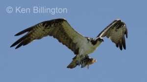 Osprey (Pandion haliaetus) (08)