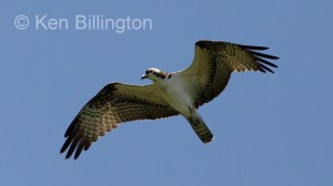 Osprey (Pandion haliaetus) (09)