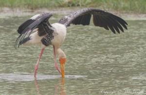 Painted Stork Mycteria leucocephala