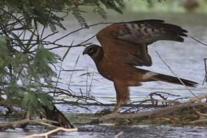 Pallid Harrier (Circus macrourus)