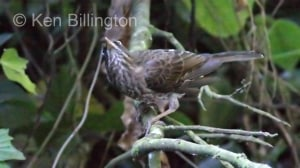 Pearly-eyed Thrasher (Margarops fuscatus) (1)