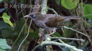 Pearly-eyed Thrasher (Margarops fuscatus) (2)