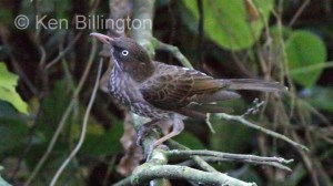Pearly-eyed Thrasher (Margarops fuscatus) (3)