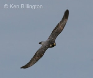 Peregrine Falcon (Falco peregrinus) (10)