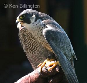 Peregrine Falcon (Falco peregrinus) (12)