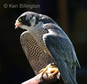 Peregrine Falcon (Falco peregrinus) (13)