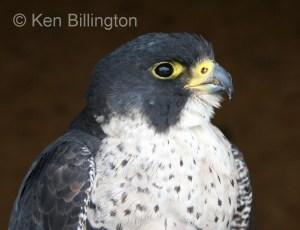 Peregrine Falcon (Falco peregrinus) (3)