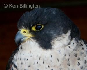 Peregrine Falcon (Falco peregrinus) (4)