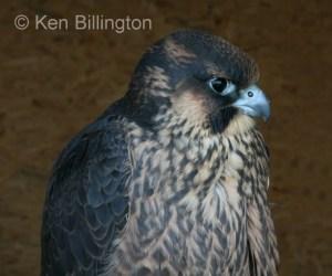 Peregrine Falcon (Falco peregrinus) (5)