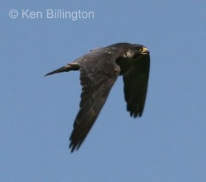 Peregrine Falcon (Falco peregrinus) (6)