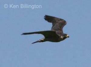 Peregrine Falcon (Falco peregrinus) (7)