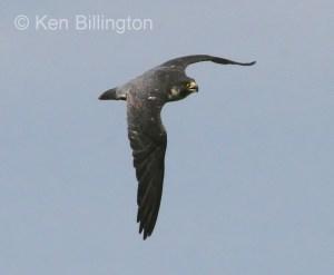 Peregrine Falcon (Falco peregrinus) (8)