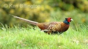 Pheasant (Phasianus colchicus) (2)