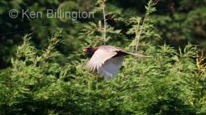 Pheasant (Phasianus colchicus) (4)
