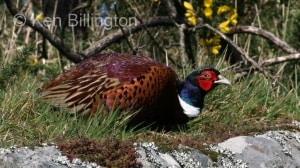 Pheasant (Phasianus colchicus)