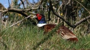Pheasant (Phasianus colchicus) (8)