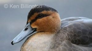 Philippine Duck (Anas luzonica) (1).JPG