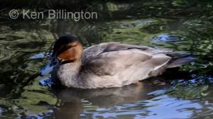 Philippine Duck (Anas luzonica) (3).JPG