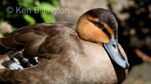 Philippine Duck Anas luzonica